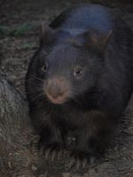 Wombat by HempHat