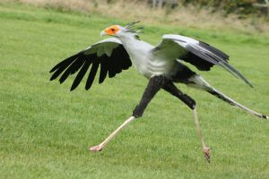 Madeleine - Secretary Bird by Skarkdahn