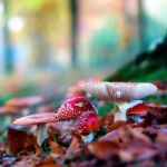 Amanita-muscaria by Oer-Wout