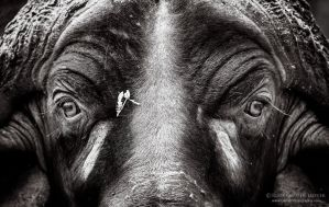 Eye to Eye (with an African Buffalo) by LinRuPhotography