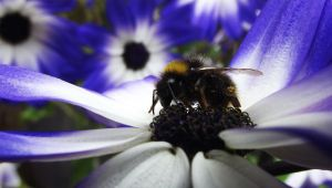 Blue Daisies And Bumble Bee by graphic-rusty