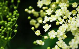 Elderberry flowers by yanshee