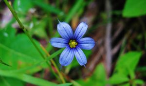 Blueeyed Grass by SpiderMilkshake