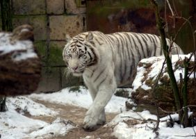 White tiger by DaisyreeB