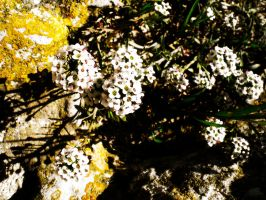Bright White Flowers in France by CreedofShadows