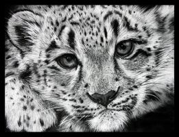 Snow Leopard by sharlena