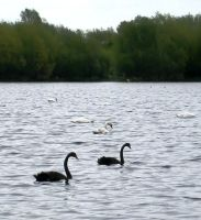 Black Swans by iriscup