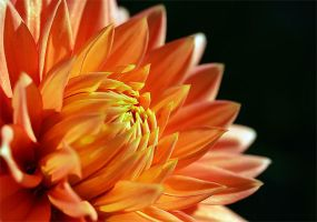 Orange Dahlia Macro by TruemarkPhotography