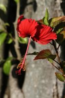 Dominican Red by olearysfunphotos