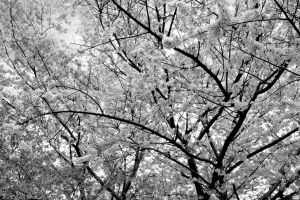 Blossoms in the Afternoon by Jordanart4peace