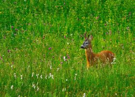 Derr in the grass by lica20