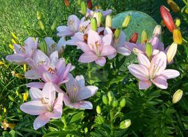 Pink Asiatic Lily 3 by racheltorres921