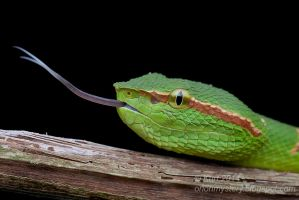 Wagler's Pit Viper (IMG 2883 copy) by orionmystery