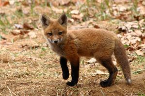 Little Red Fox 2013 by natureguy