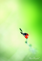 The lonely ladybug by UgurDoyduk