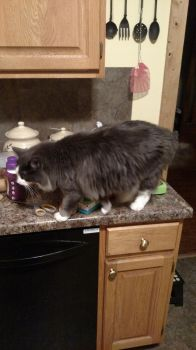 he likes to be on the counters by sadie1079