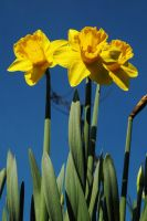 Daffs for Dave by EarthHart