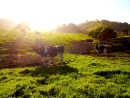 Cows and Grass by TheSailingShips