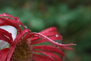 Flowers in the rain 3992 by fa-stock