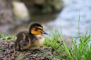 Little Duckling by SnowPoring