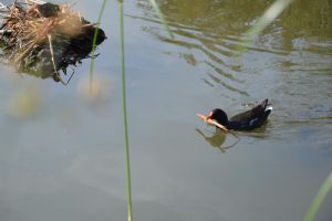 Mom and child moorhen by A1Z2E3R