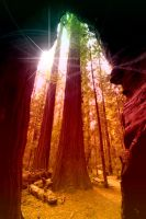 Redwood Tree by krainzi