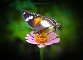 Butterfly and Flower by widjana