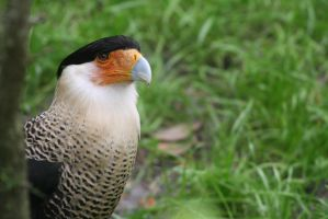 Crested Caracara by ringette-and-riding