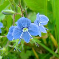 Wild Blue Flower - Veronica by bojar