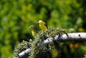 Gold Finches by Aestera