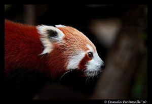Red Panda Profile by =TVD-Photography
