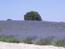 Tree and lavenders in Provence by lubman