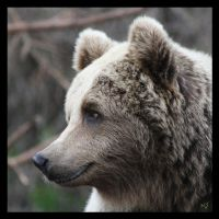 Brown Bear by Globaludodesign