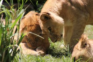 Lionesses3 by Lynxwing