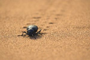 Dung Beetle II by syrus