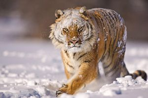 Siberian Tiger 8 by catman-suha