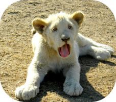 White Lion Cub Laying by Jenvanw