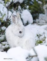 Snowshoe Hare 2 by Les-Piccolo