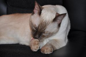 Robriel-Stock Siamese Cat 14 by Robriel-Stock