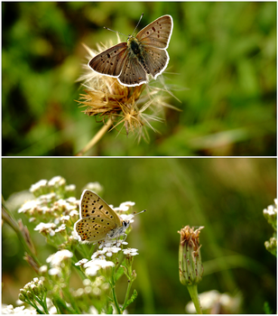 Lycaena tityrus by McFearless1810