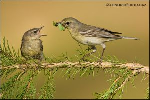 Pine warbler feeding fledgling by gregster09