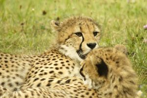Cheetah family 1600 by maddog1138