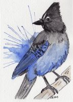 Stellers Jay by IckyDog