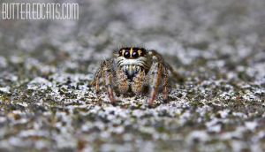 German Jumpingspider by ButteredCats