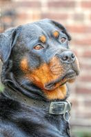 Charlea the Rottie - HDR by teslaextreme