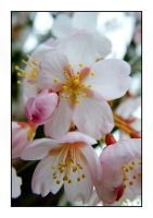 Pale Pinks by murraywilson