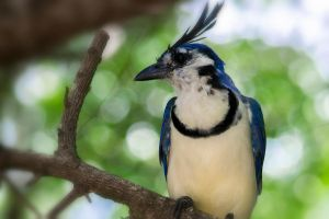 White-throated Magpie-Jay by jkorozco