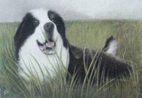 Bernese Mountain Dog by Chris-Blue