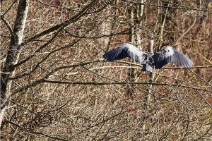 Heron Landing at the Great Blue Heron Reserve by echo9c