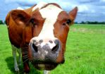 Friendly Cow by papilio